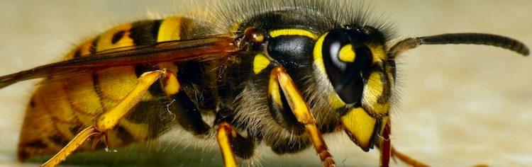 Wespen die niet stekenwillen